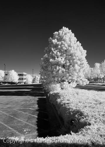 0929-0005-Tree-And-Hedge-In-Infrared