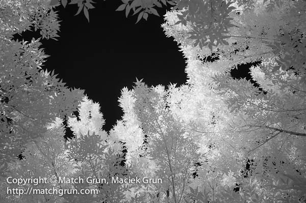1156-0006-Trees-And-Leaves-In-Infra-Red