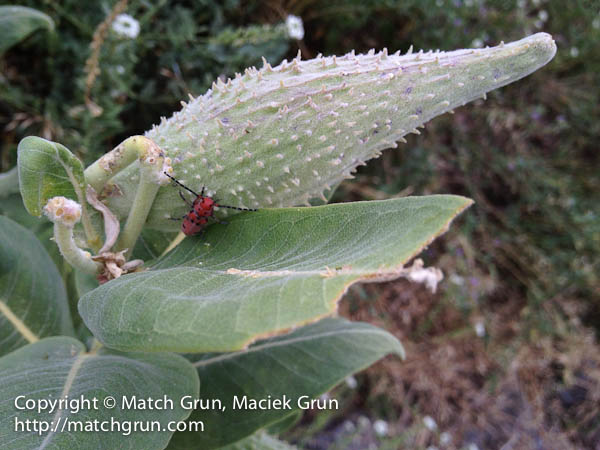 ip4s-2782-Red-Bug-On-Milkweed