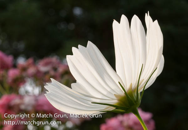 1166-0024-White-Backlit-Cosmos