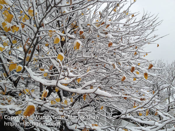 ip4s-3422-Yellow-Leaves-Under-Snow