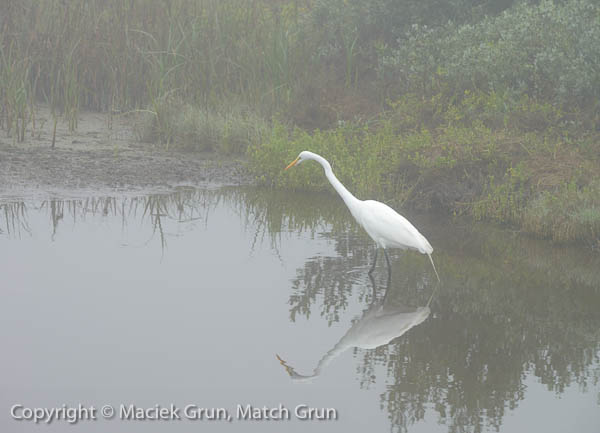 1227-0034-Great-White-Egret-South-Padre-Island
