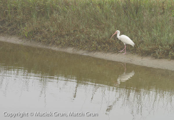 1227-0074-White-Ibis-South-Padre-Island