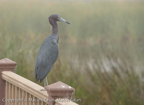 1227-0104-Little-Blue-Heron-South-Padre-Island