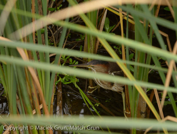1227-0143-Least-Bittern-South-Padre-Island