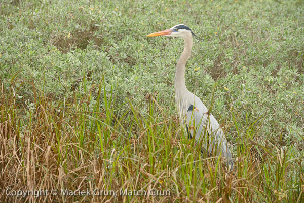 1227-0146-Great-Blue-Heron-South-Padre-Island