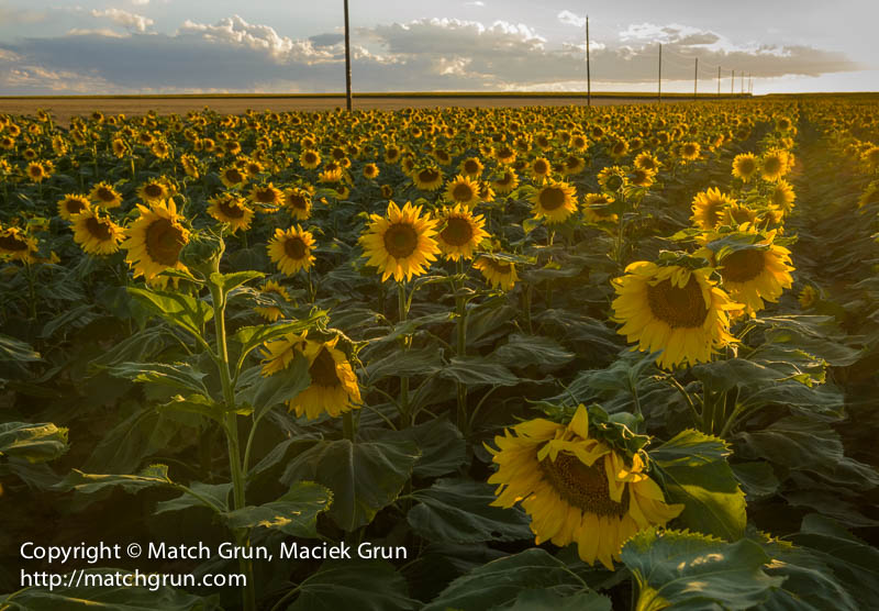 1423-0222-Sunflowers-And-Distant-Storm-Clouds