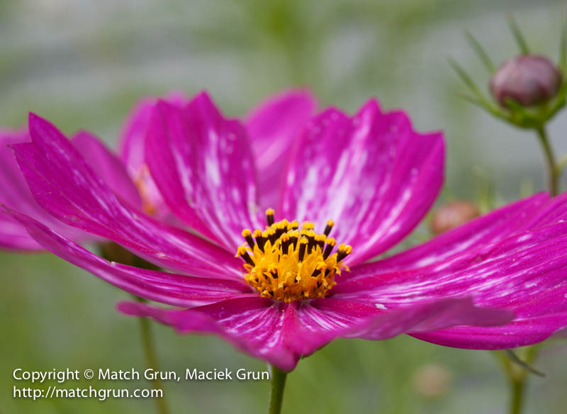 1439-0012-Red-Cosmos
