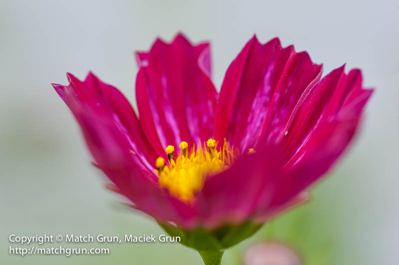 1442-0003-Red-Cosmos-No-2