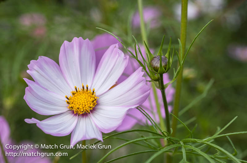 1442-0023-Pink-And-White-Cosmos