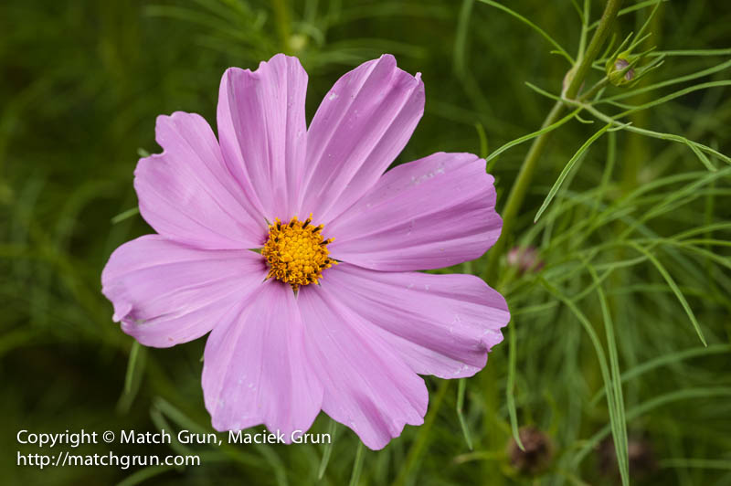 1443-0004-Pink-Cosmos