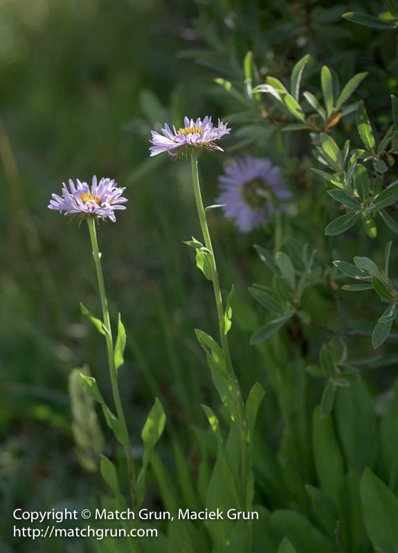 1589-0092-Two-Asters-Guanella-Pass