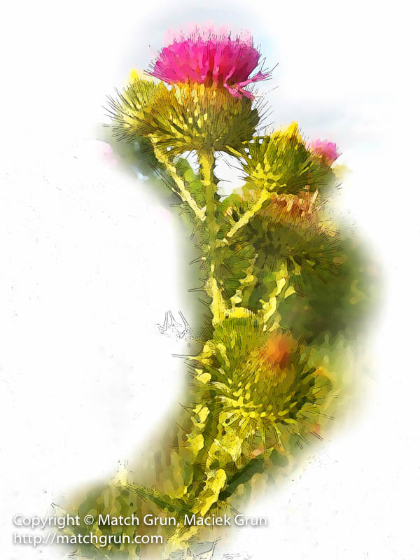 Thistle Along Cherry Creek