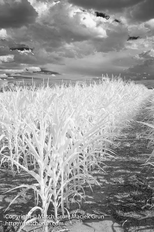 1792-0006-Corn-Field-No-1