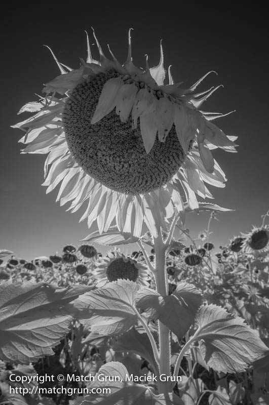 1794-0024-Backlit-Sunflower-Head