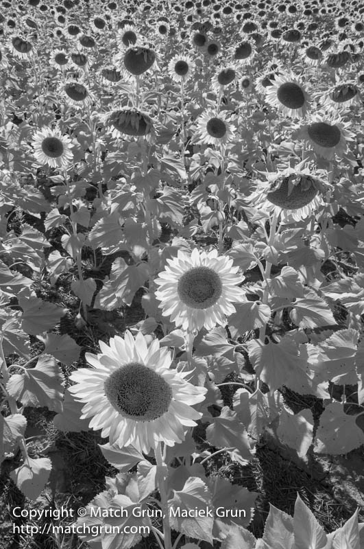 1794-0056-Sunflowers-In-Infrared-Bennett