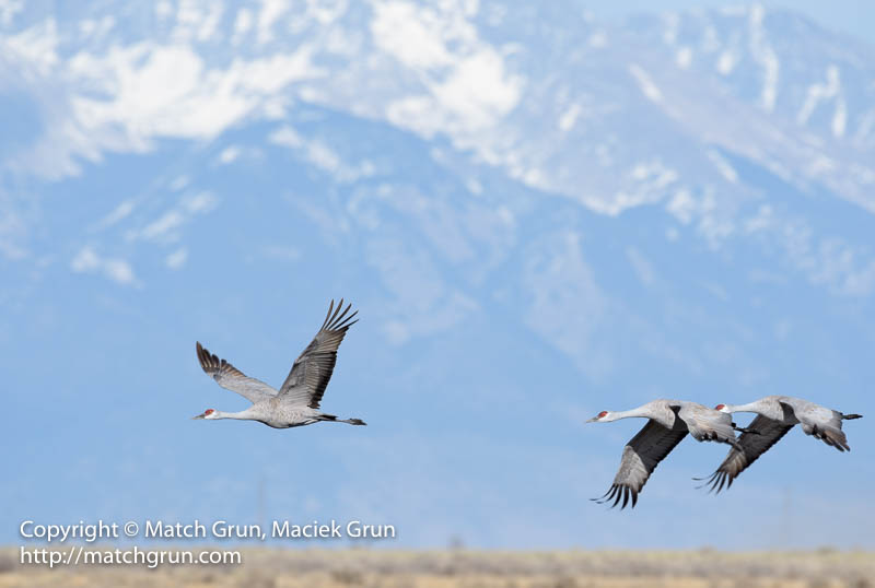 1925-0008-Sandhill-Cranes-In-Flight-Monte-Vista