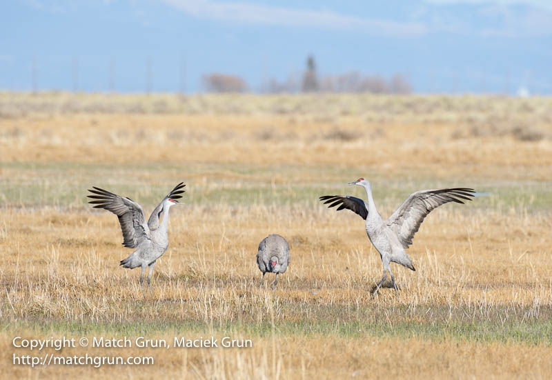 1925-0138-Pair-Of-Dancing-Sandhill-Cranes