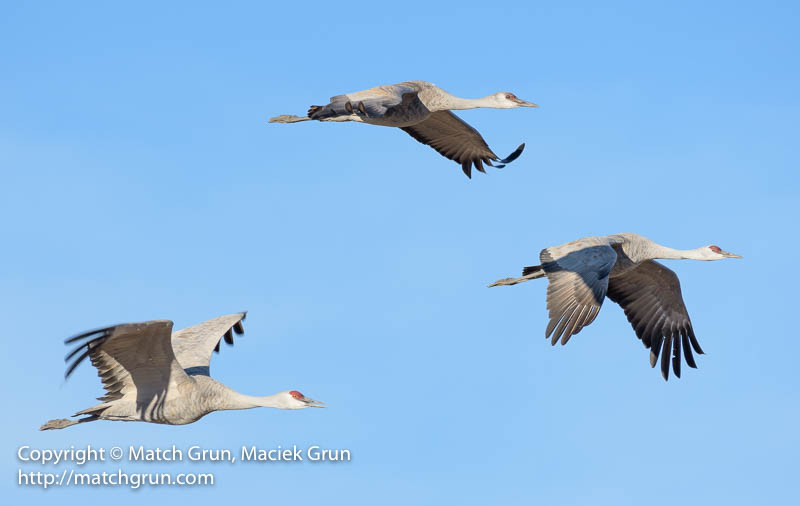 1925-0218-Sandhill-Cranes-No-2-In-Flight