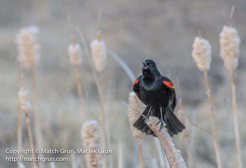 1923-0197-Red-Winged-Blackbird-Calling-Monte-Vista