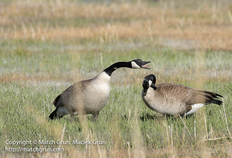 1925-0045-Canada-Geese-Courting-Monte-Vista