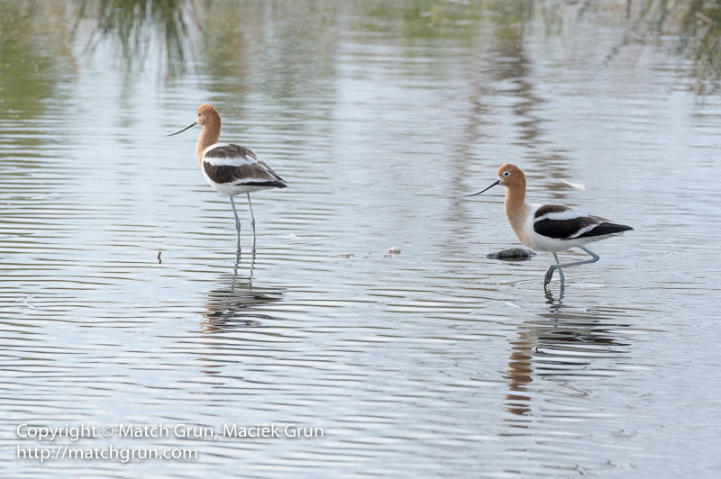 1942-0016-Avocet-Pair-Westerly-Creek