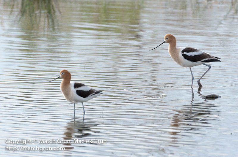 1942-0033-Avocet-Pair-No-2-Westerly-Creek