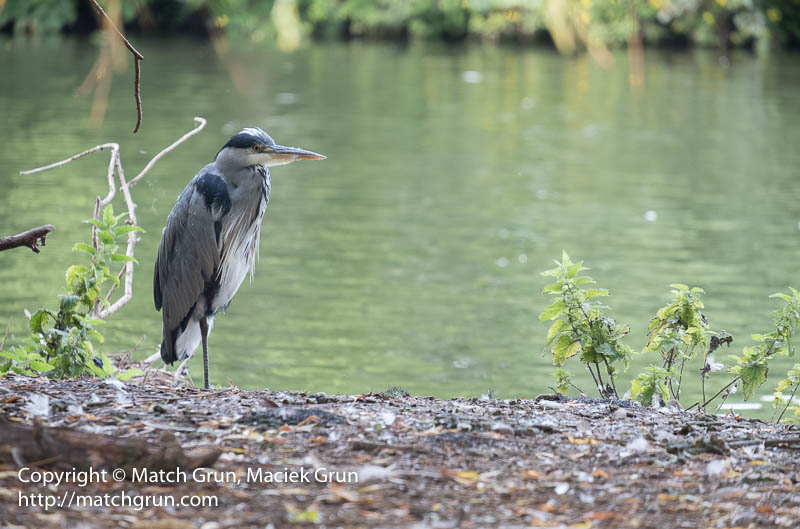 1970-0026-Grey-Heron-River-Thames