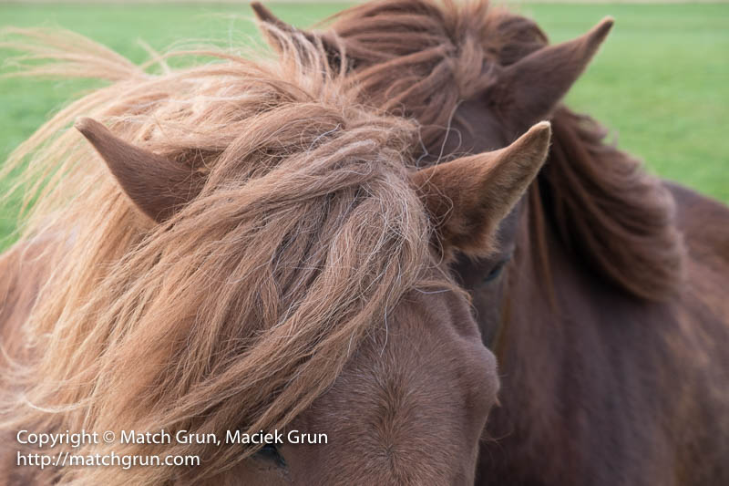 2004-0025-Icelandic-Horses-Two-Pairs-Of-Ears