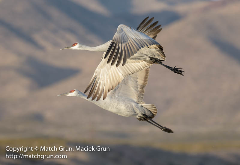 2072-0172-Sandhill-Cranes-In-Flight-Bosque-Del-Apache