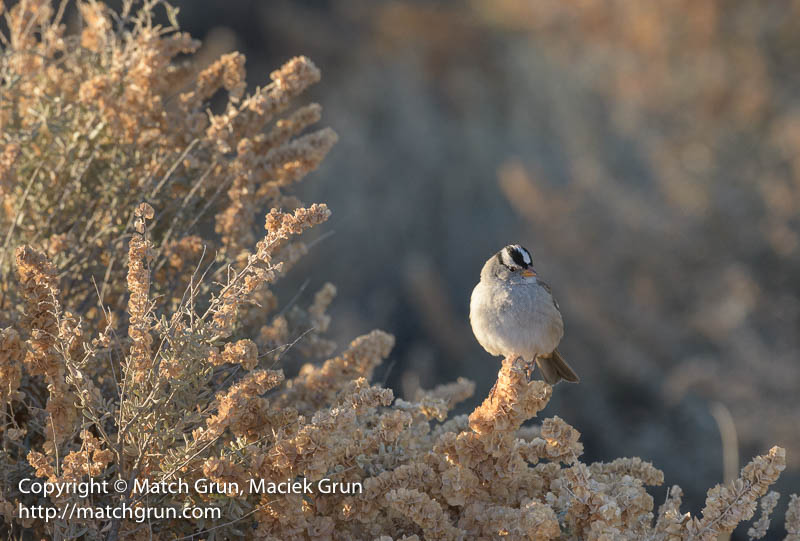 2075-0208-White-Crowned-Sparrow-Bosque-Del-Apache